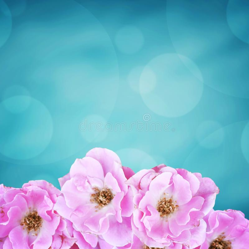 O rosa aumentou, fundo bonito da flor foto de stock royalty free