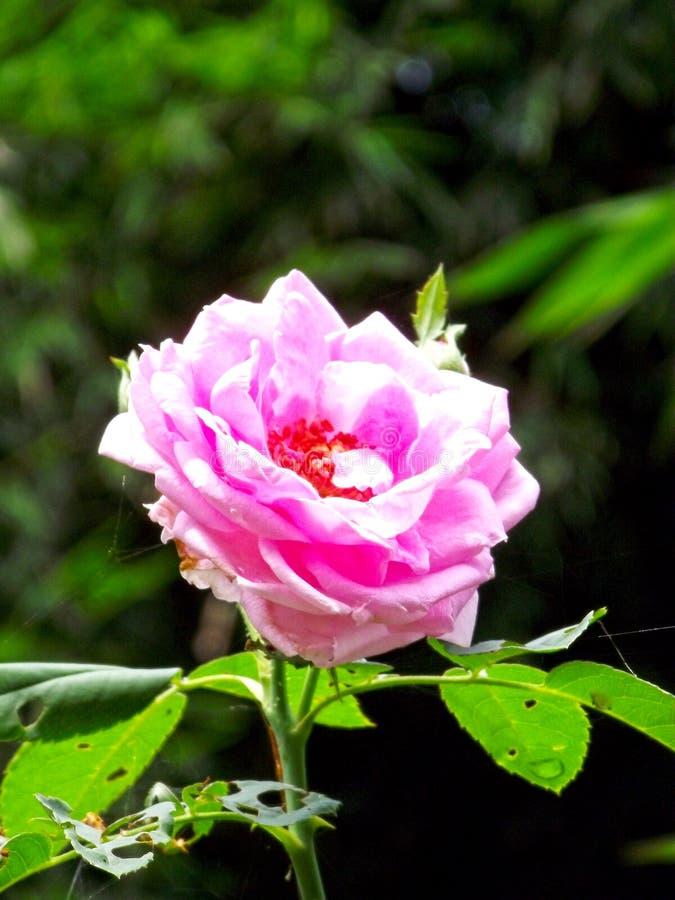 O rosa aumentou no jardim e na natureza frescos foto de stock royalty free