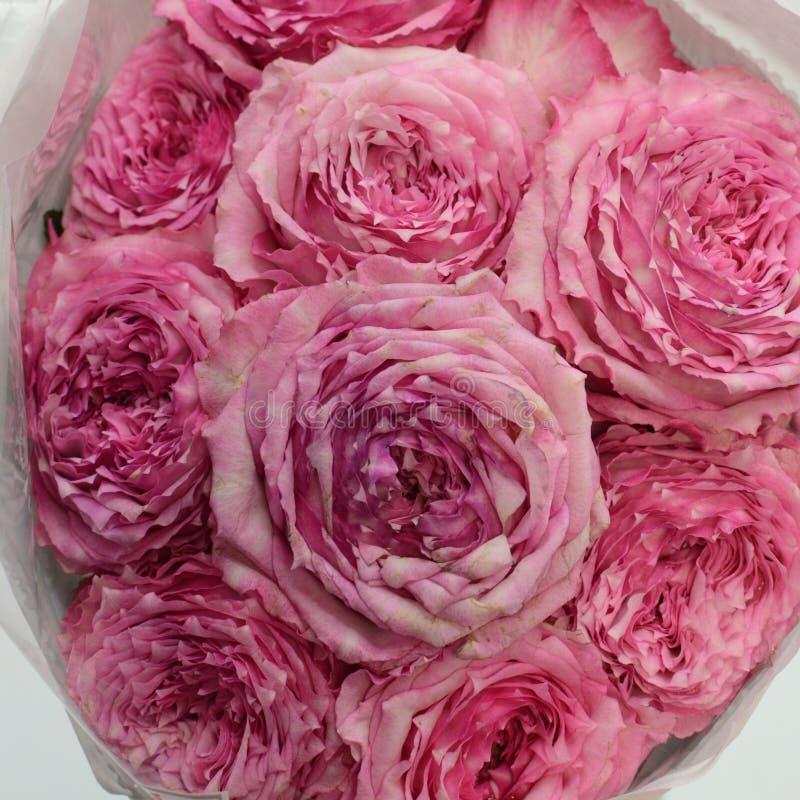 O rosa aumentou pulverizador do verão das flores no fundo branco imagens de stock