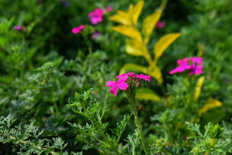 O rosa coloriu flores atrativas no jardim com as folhas verdes no fundo imagens de stock