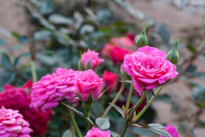 O rosa e as rosas vermelhas são flor espinho muito bonito e afiado na natureza imagem de stock