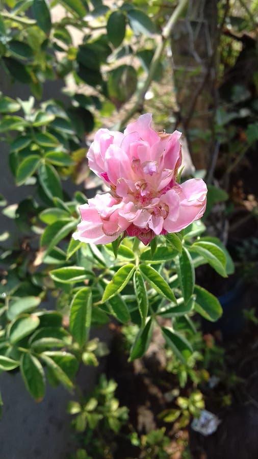 O rosa floresce as flores chuvosas imagens de stock royalty free