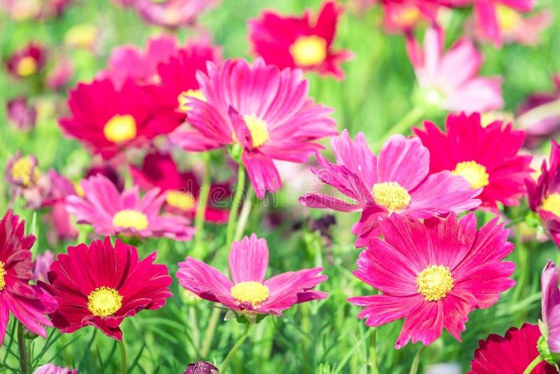 O rosa floresce a flor do cosmos belamente durante a mola imagem de stock royalty free
