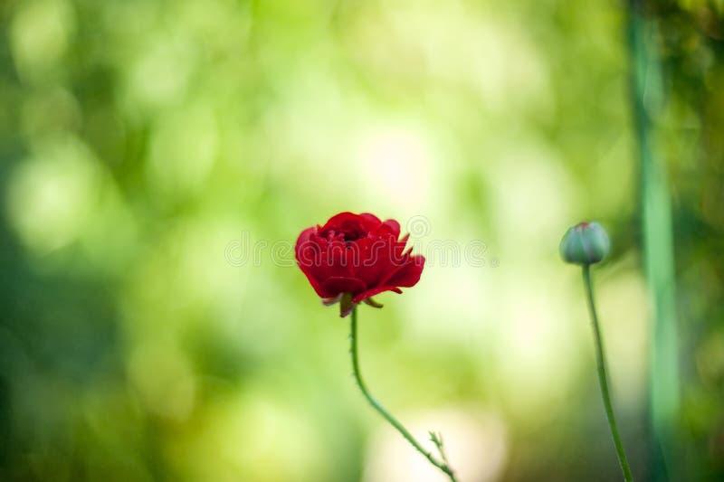 O rosa pequeno floresce o botão de ouro do ranúnculo em um fundo artístico bonito em um dia ensolarado wallpaper foto de stock