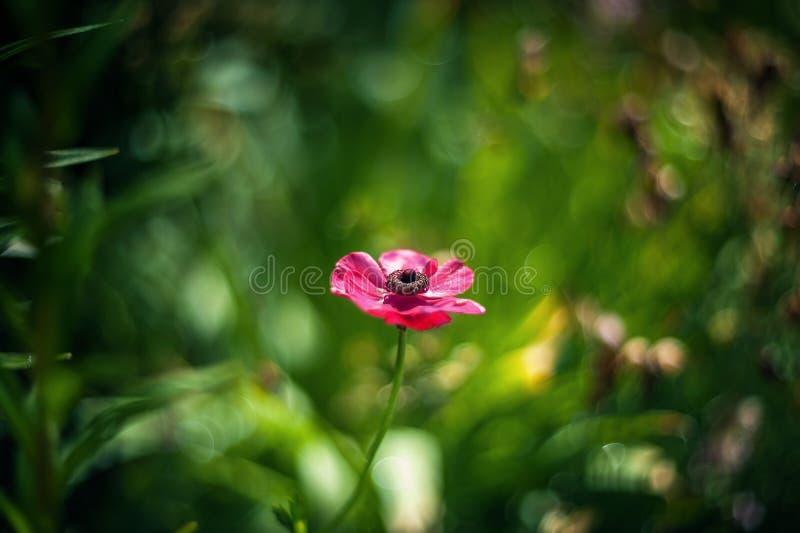 O rosa pequeno floresce o ranúnculo em um fundo artístico bonito em um dia ensolarado buttercup wallpaper fotografia de stock royalty free