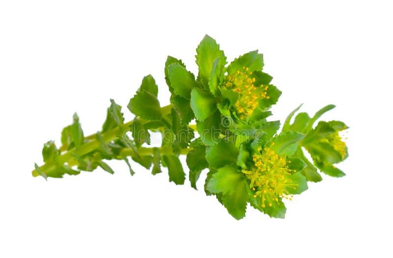 O rosea de Rhodiola ou a raiz dourada, aumentaram raiz, roseroot, a haste de Aaron, raiz ?rtica, a coroa do rei, r?dio do lignum, fotografia de stock