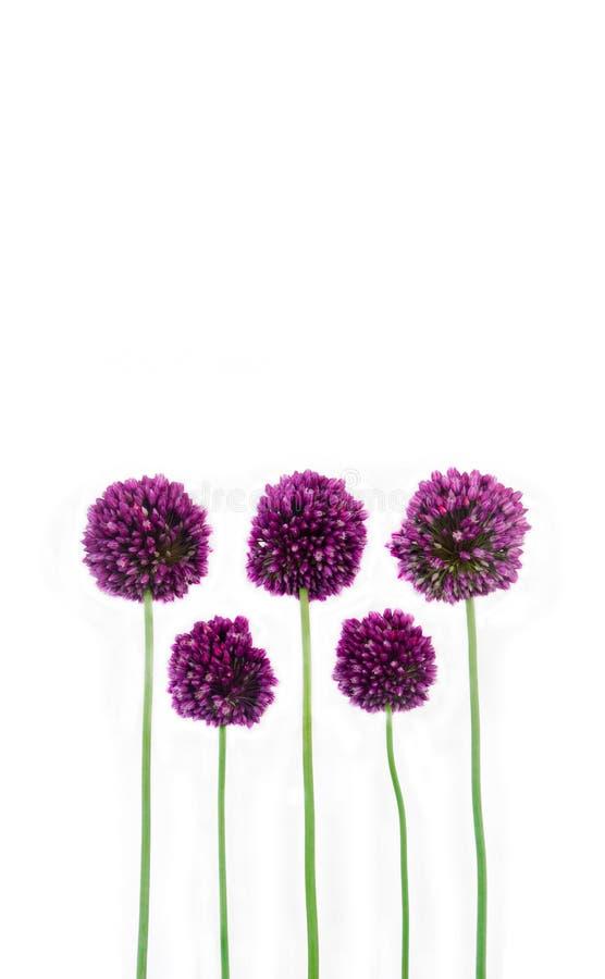 O roxo bonito floresce o allium isolado no fundo branco com espaço para seu texto fotos de stock royalty free
