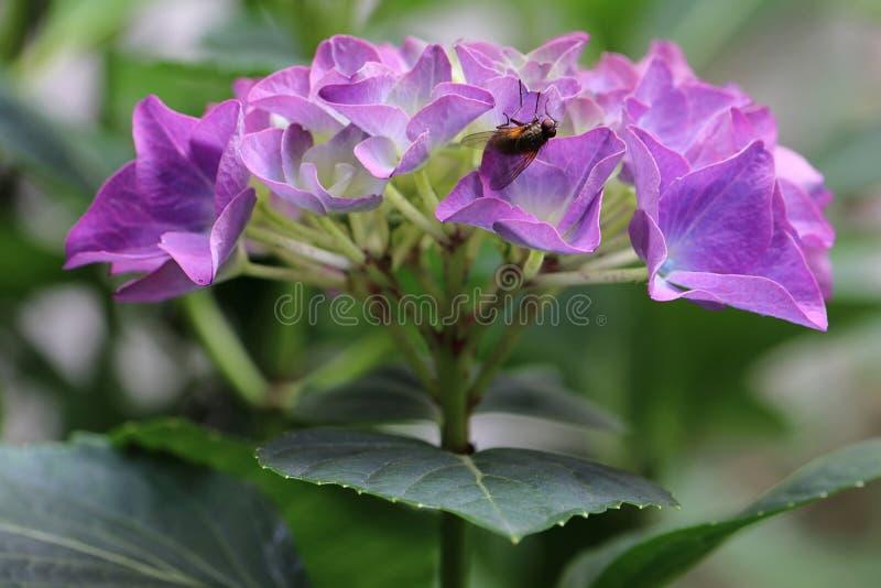 O roxo coloriu a flor do hortensia da hortênsia no close-up com uma mosca do inseto, brachycera fotos de stock