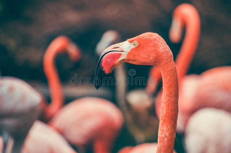 O ruber americano de Phoenicopterus do flamingo fotos de stock