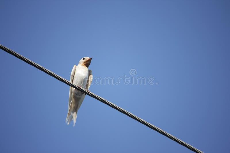 O rustica L do Hirundo da andorinha de celeiro do albino fotografia de stock royalty free
