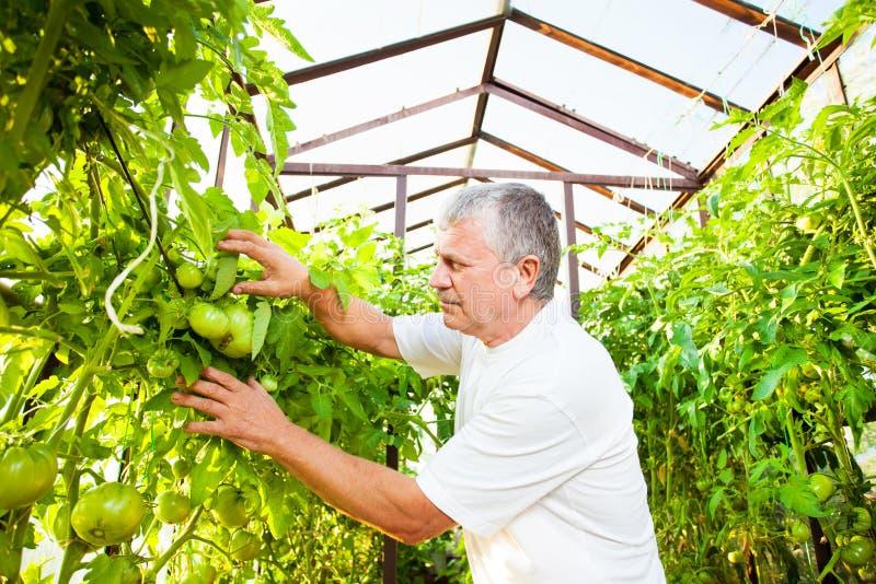 O sênior cresce a colheita na estufa imagens de stock royalty free