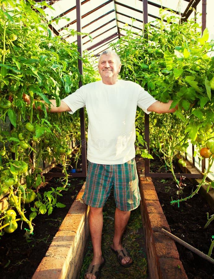O sênior cresce a colheita na estufa fotografia de stock