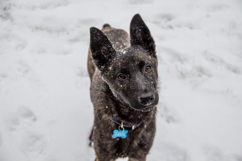 O sócio querendo, um cão transversal da raça do pastor belga olha lovingly na câmera foto de stock