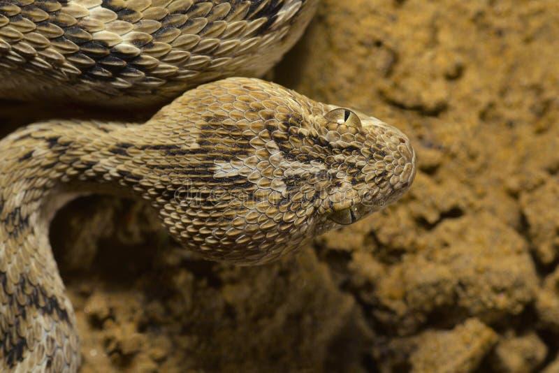 O ` s de Sochurek Serra-escalou a víbora, close up de Echis Carinatus Sochureki da cabeça Parque nacional do deserto imagem de stock