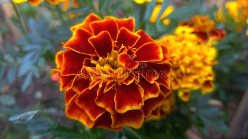 O ` s do jardim floresce Campos Jordão imagens de stock royalty free