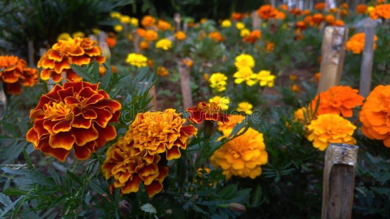 O ` s do jardim floresce Campos Jordão imagens de stock