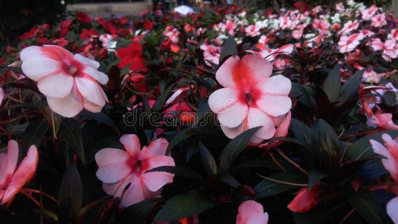 O ` s do jardim floresce Campos Jordão fotografia de stock