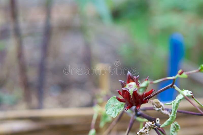 O sabdariffa Linn ou Rosella do hibiscus tem a pá do azul do borrão imagens de stock