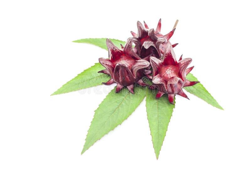 O sabdariffa ou o roselle do hibiscus frutificam no fundo branco foto de stock royalty free