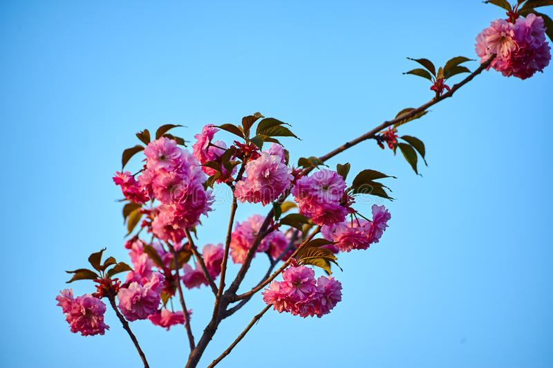O sakura de florescência fotografia de stock