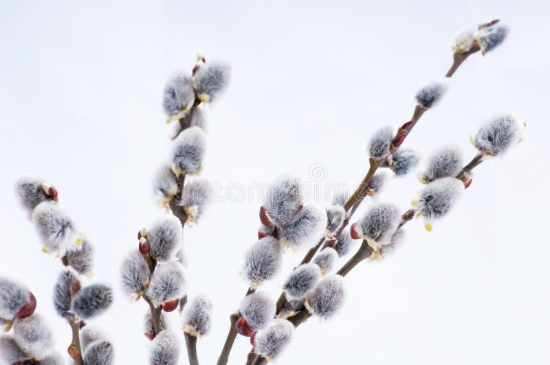 Flores bonitas do salgueiro de bichano foto de stock