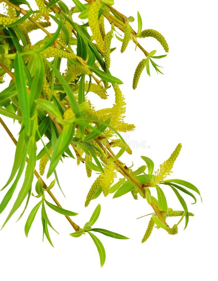 O salgueiro floresceu nos ramos, isolados sem uma sombra imagens de stock
