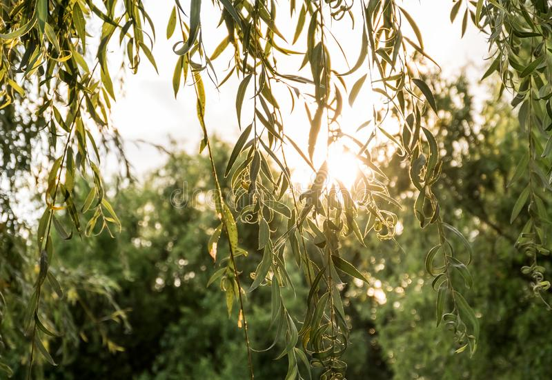 O salgueiro ramifica no por do sol iluminado pelo sol foto de stock royalty free