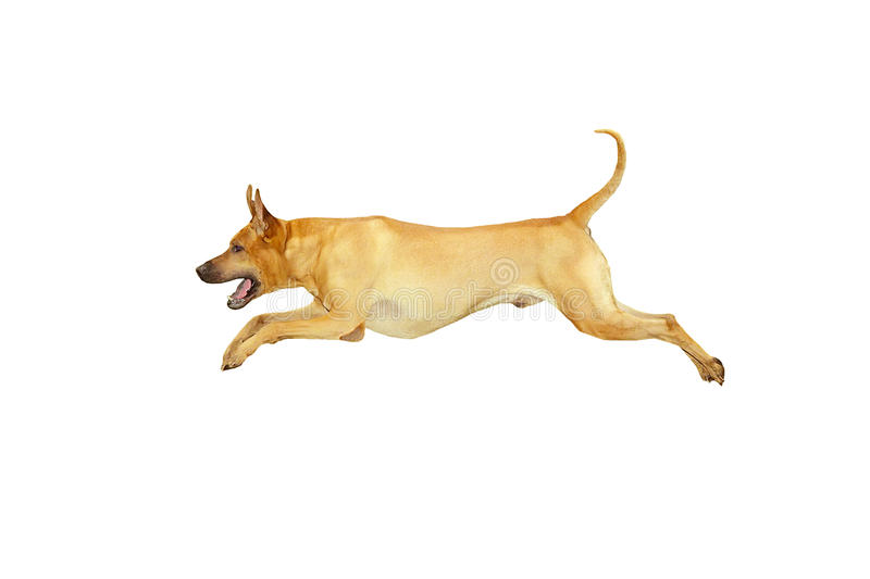 O salto do cão fotografia de stock