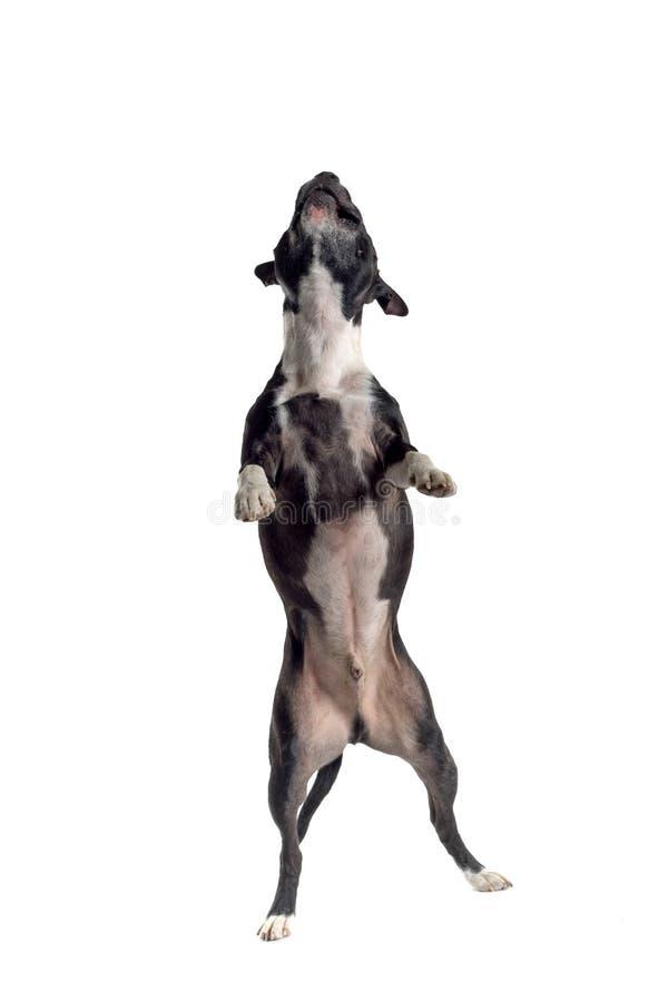 O salto do cão, isolado fotos de stock