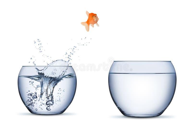 o salto do conceito da elevação da oportunidade da carreira do movimento da mudança dos peixes do ouro na outra bacia mais grande imagens de stock royalty free