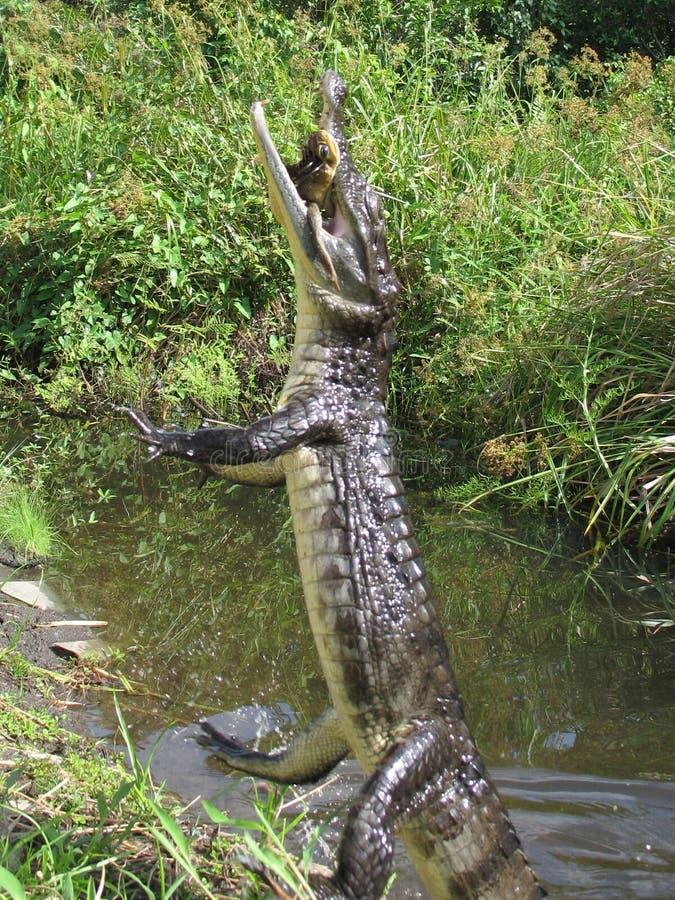 O salto do crocodilo imagens de stock