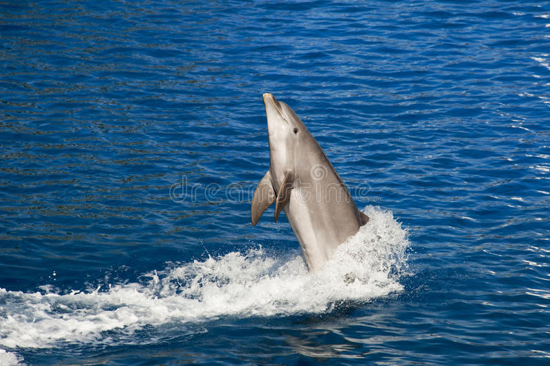 O salto do golfinho fotos de stock royalty free