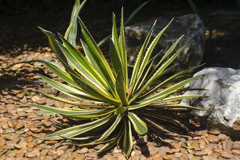 O Sansevieria na terra tem por muito tempo as folhas delgadas como lanças fotografia de stock
