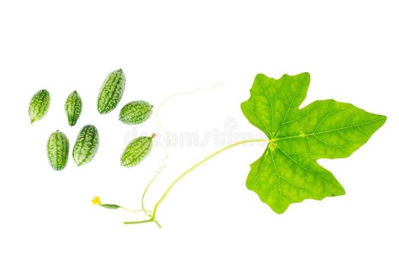 O scabra de Melothria, vegetal delicioso doce do melão do rato, fruto mexicano, planta sae fotos de stock royalty free