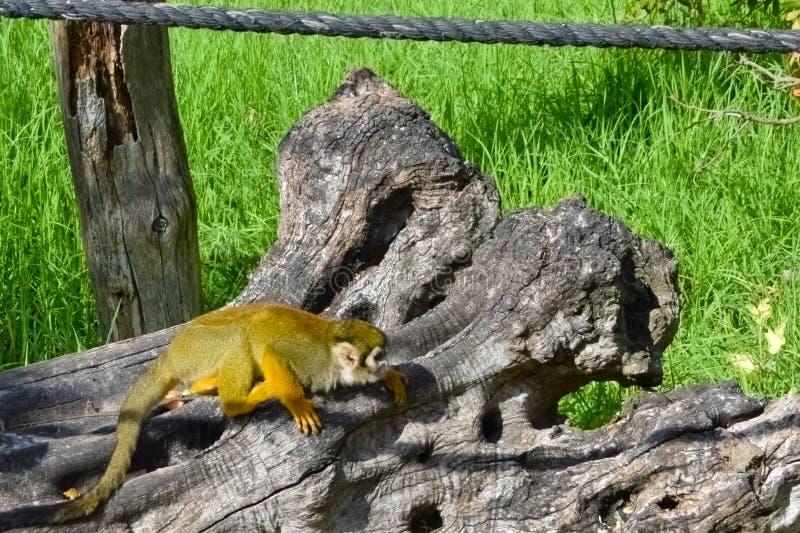 O sciureus comum do Saimiri do macaco de esquilo imagens de stock