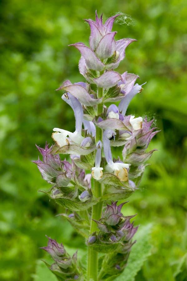O sclarea de Salvia floresce na flor, luz - planta prudente de florescência violeta foto de stock