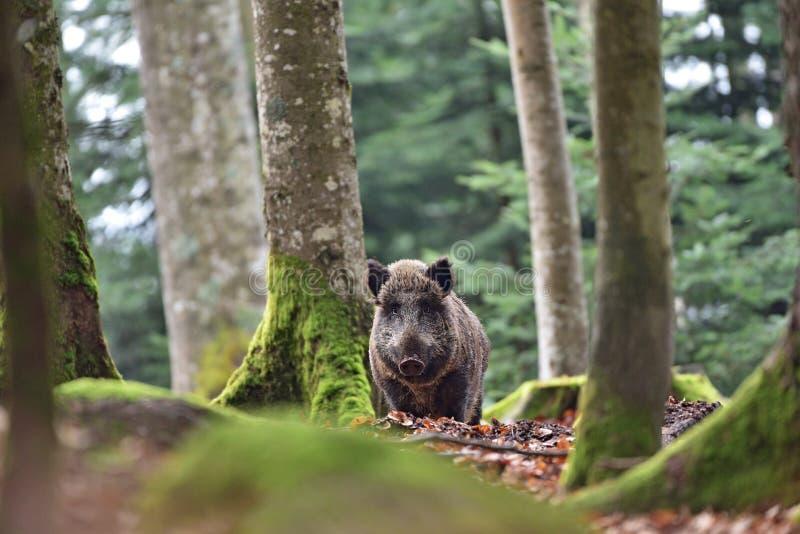 O scrofa do Sus do javali - suíno selvagem - porco selvagem euro-asiático - porco selvagem foto de stock