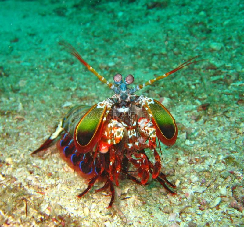 The Beautyful Peacock Mantis Shrimp in the botton of Koh Lipe, Thailand. O. scyllarus is one of the larger, more colourful mantis shrimps commonly seen, ranging royalty free stock photos