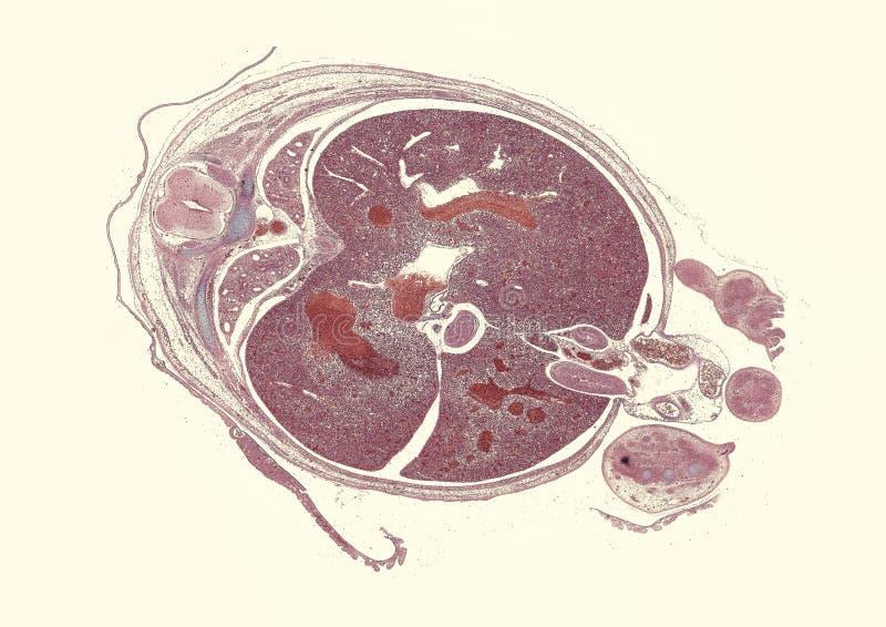 """O seção transversal cortou sob ideia microscópica do †do microscópio """"das pilhas animais para a educação ilustração royalty free"""