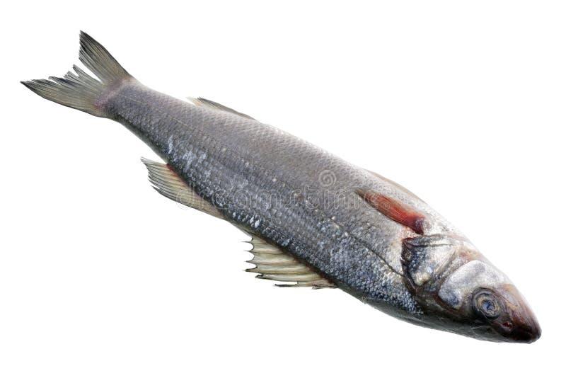 O Seabass cancelado fresco dos peixes da garoupa do mar, sal velho é preparado para a repreensão imagens de stock