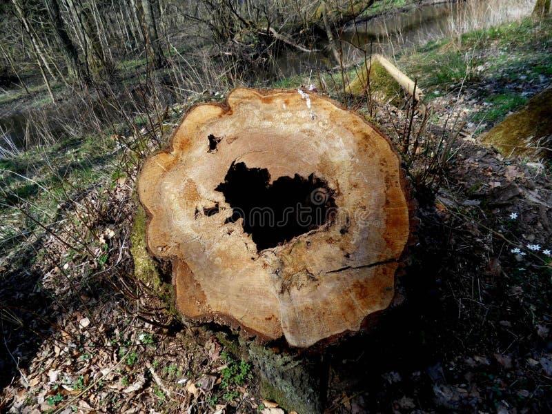 O segredo da árvore cutted fotografia de stock royalty free