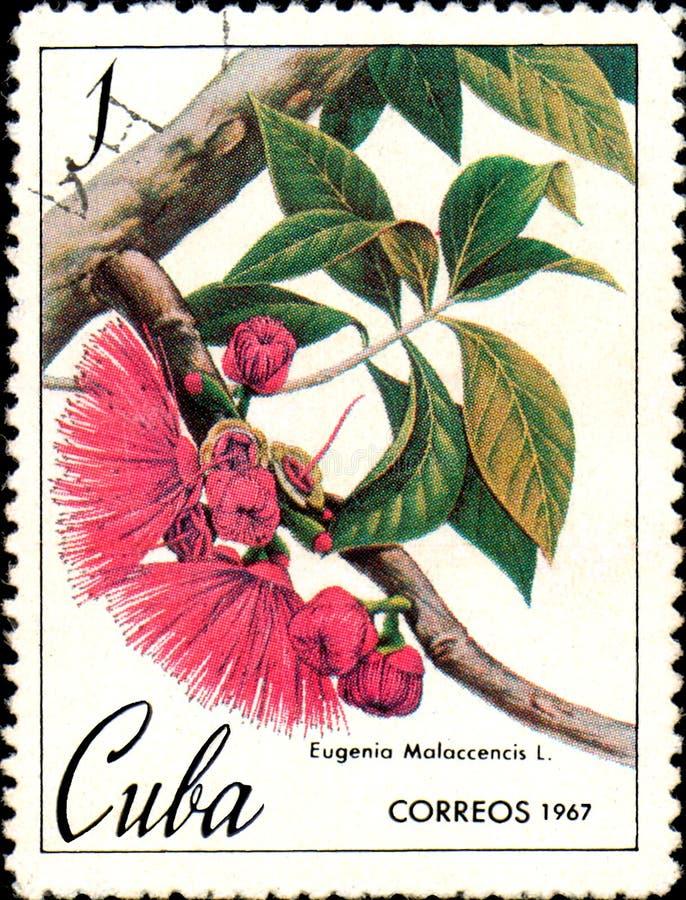 O selo impresso em Cuba mostra a imagem de Eugenia Malaccencis, maçã do malay, cerca de 1967 fotografia de stock