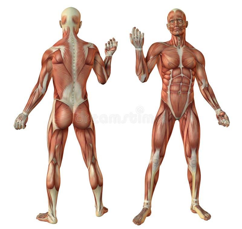 O ser humano muscles a anatomia ilustração stock