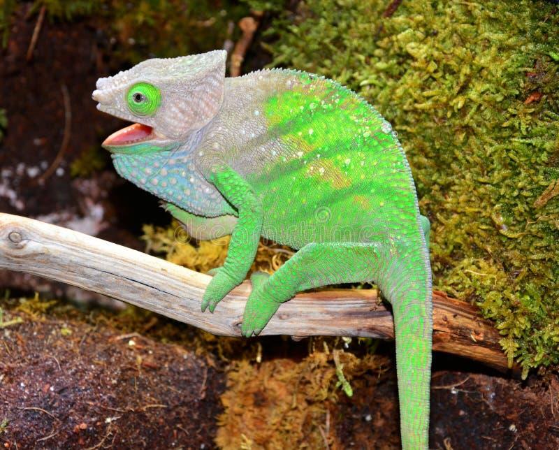 O'Shaughnessy kameleon zdjęcie stock
