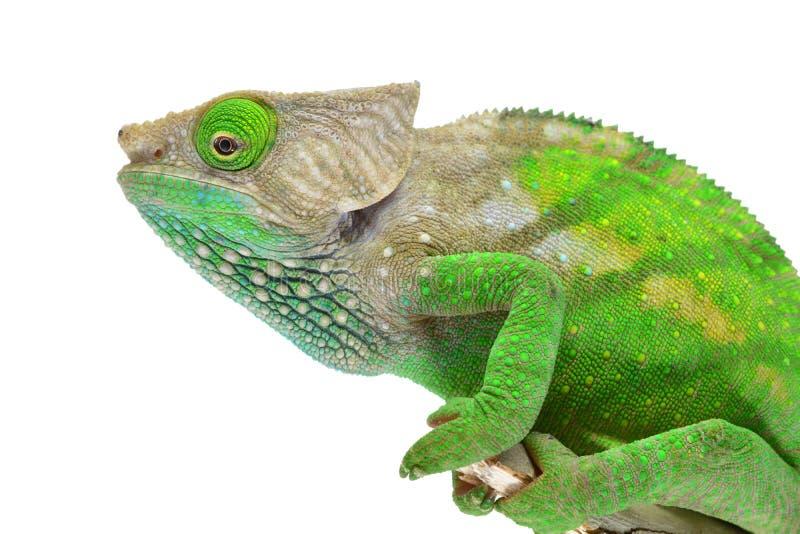 O'Shaughnessy kameleon obraz stock