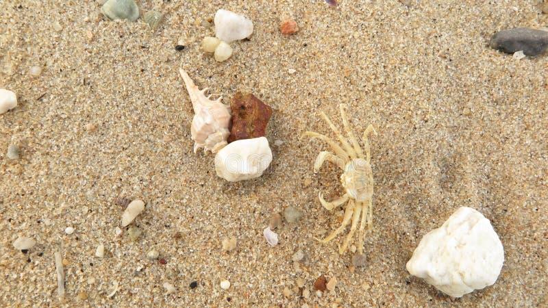 O shell e o caranguejo fósseis na areia encalham fotografia de stock royalty free