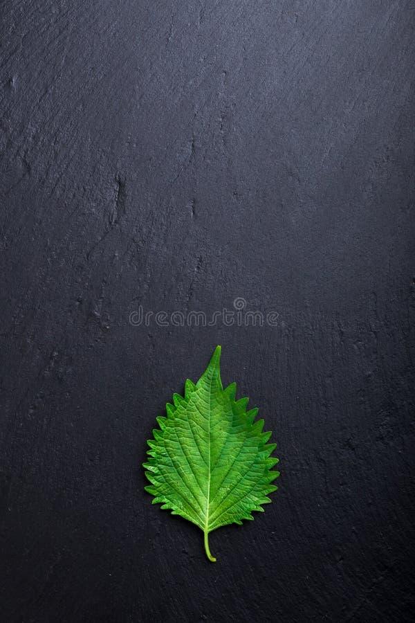 o shiso e dos frutescens do Perilla as folhas japonesas do var são usados para decorar o alimento japonês fotos de stock royalty free