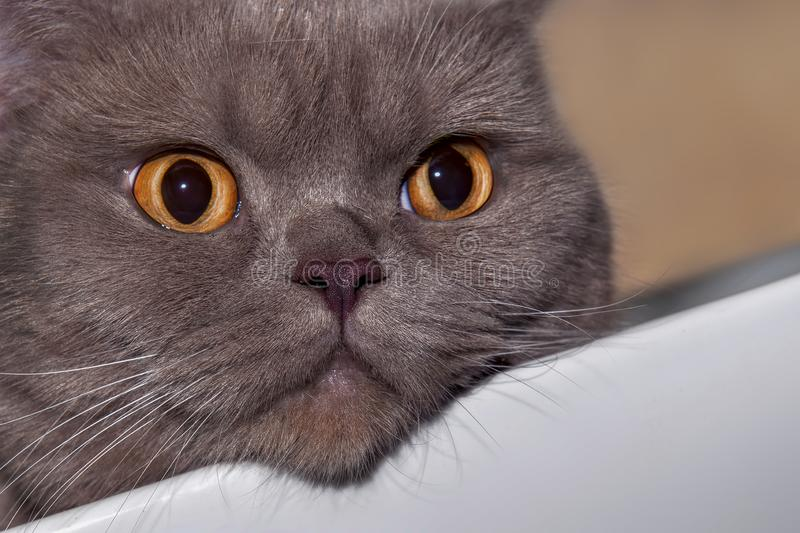 O Shorthair britânico é a versão de raça pura do gato doméstico britânico tradicional fotografia de stock royalty free