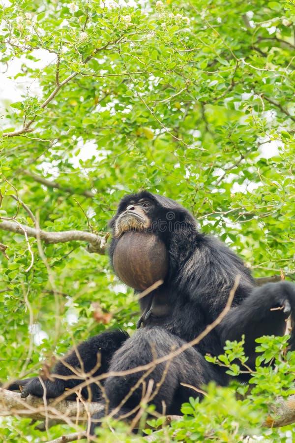 O Siamang Gibbon imagens de stock