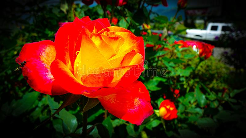 O sinal acústico e a Rosa alaranjada em um jardim da inclinação da água fresca imagem de stock royalty free